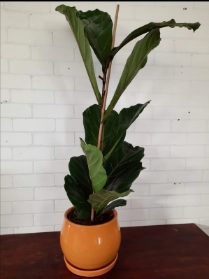 Ficus Lyrata aka Fiddle leaf fig, in mustard ochre pot