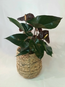 Chocolate Anthurium