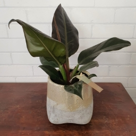 Philodendron in Urn Pot