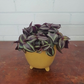 Zebrina in Footed Pot